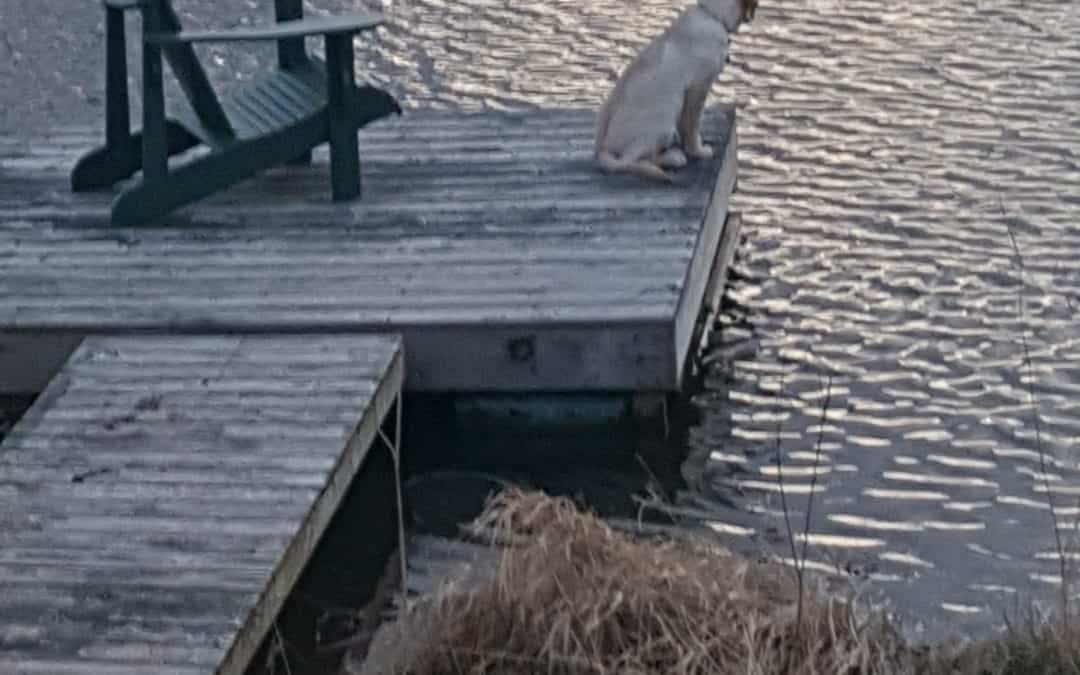 a labrador sitting on a lakeside dock