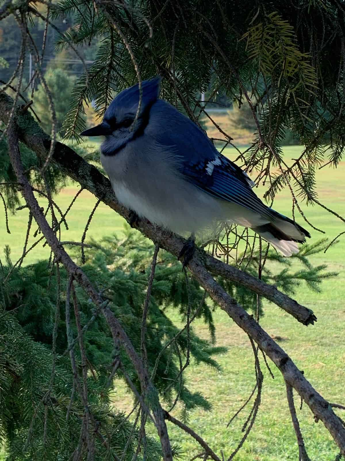 Blue Jay 2020 09 25 At 10.10.25 Am